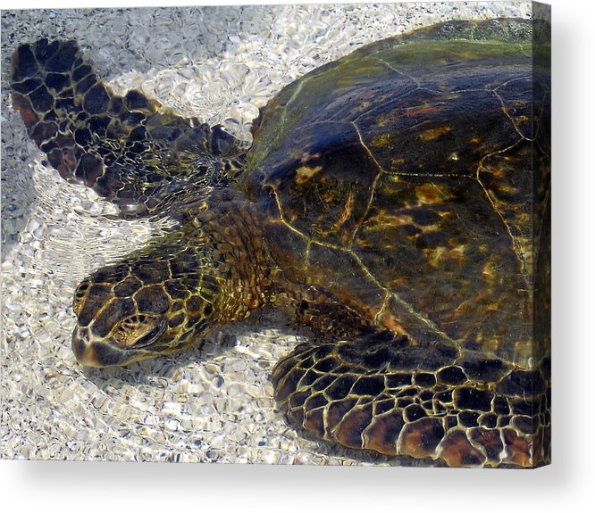 Turtle Acrylic Print featuring the photograph Sea Life by Athala Bruckner