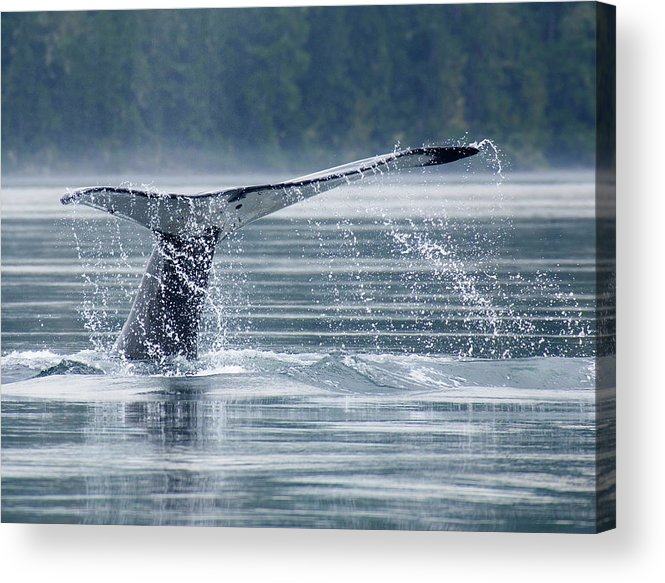 One Animal Acrylic Print featuring the photograph Tail Of Humpback Whale by Grant Faint
