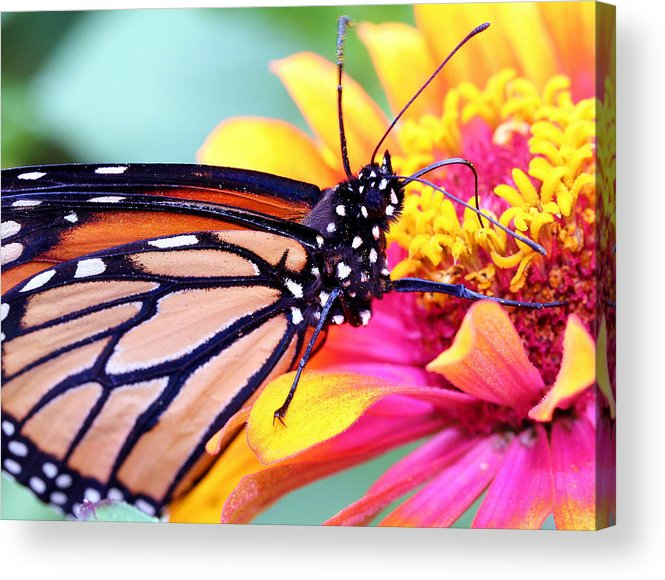 Butterfly Acrylic Print featuring the photograph Happiness by Mitch Cat