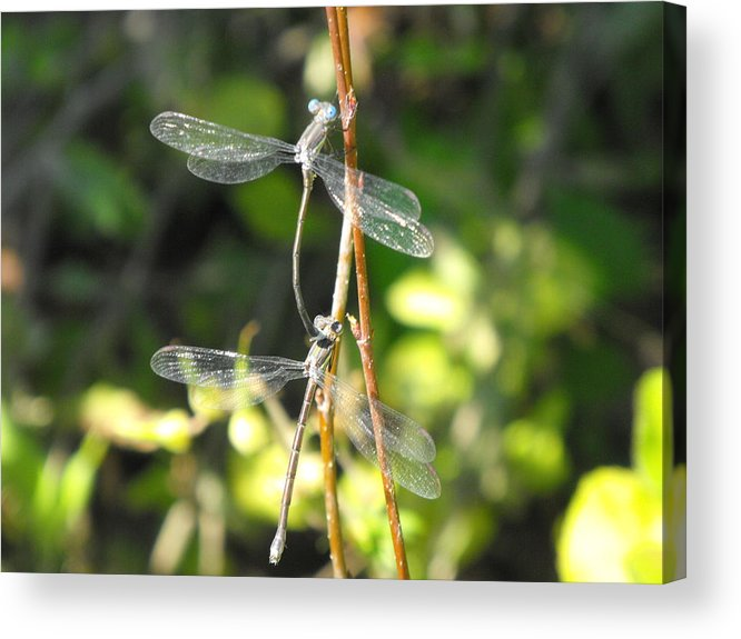 Dragonflies Acrylic Print featuring the photograph Dragonflies by Paulina Roybal