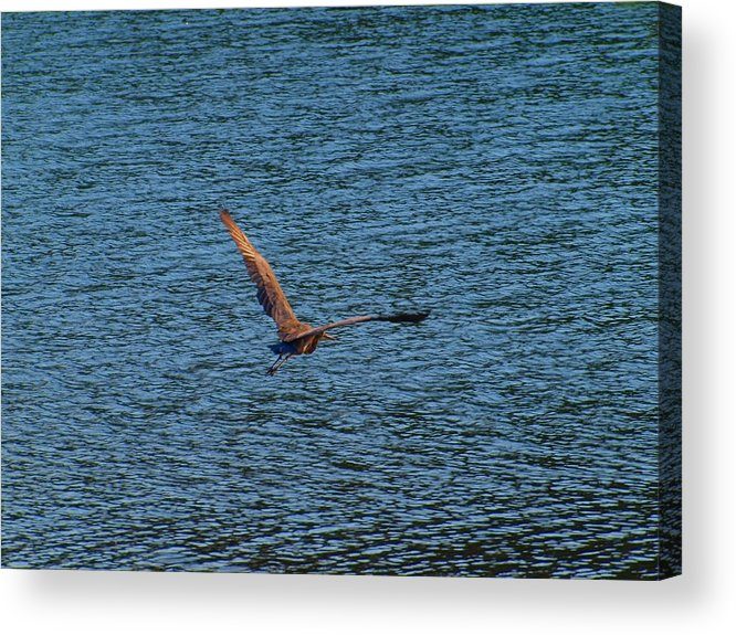 Flying Acrylic Print featuring the photograph Flying by Judy Waller