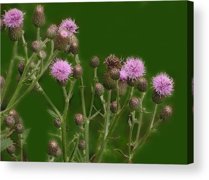 Flower Acrylic Print featuring the photograph Green And Purple by Ian MacDonald