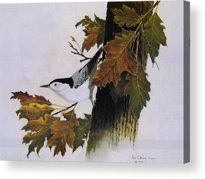 Bird Acrylic Print featuring the painting White-breasted Nuthatch by Bill Gehring