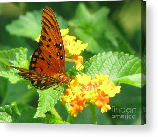 Butterfly Acrylic Print featuring the photograph Butterfly by Amanda Barcon