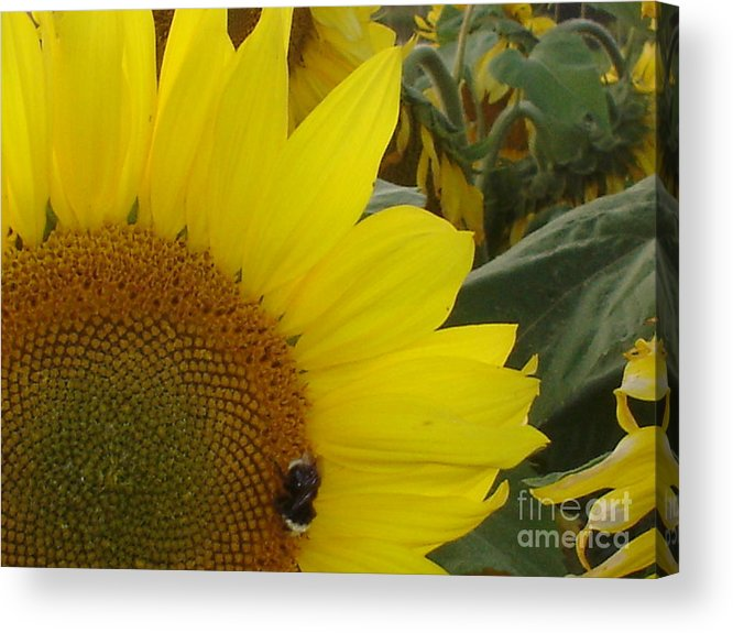 Bee's Acrylic Print featuring the photograph Bee on Sunflower 1 by Chandelle Hazen