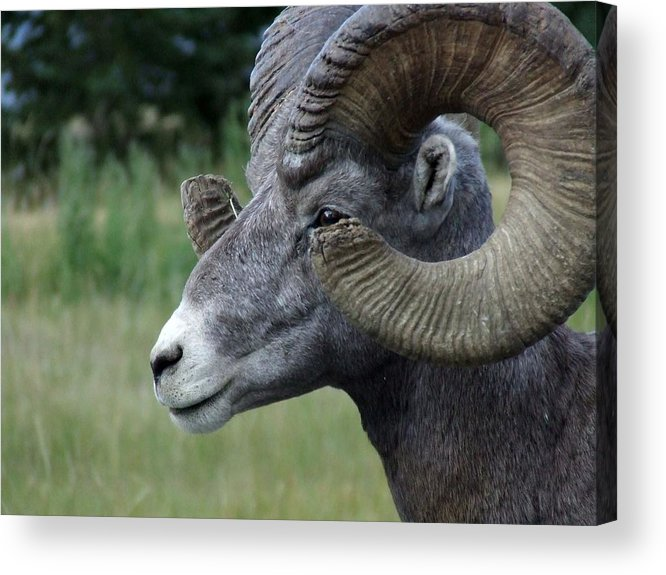 Big Horned Ram Acrylic Print featuring the photograph Bighorned Ram by Tiffany Vest