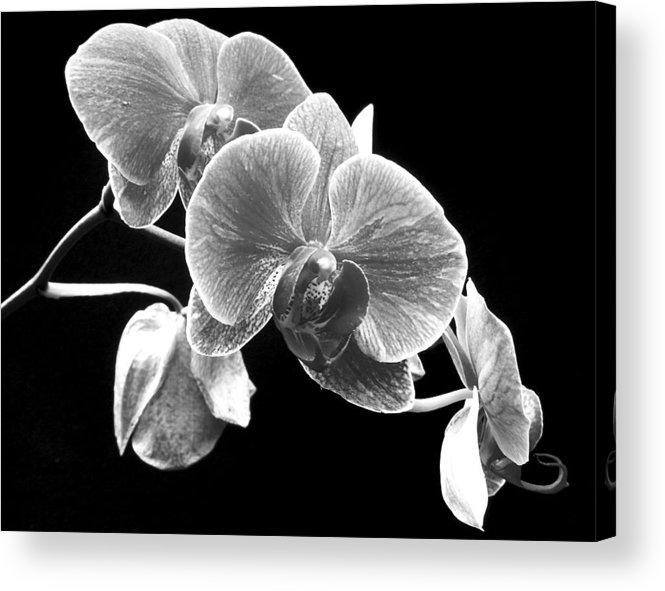 Flowers Acrylic Print featuring the photograph Black and white orchid by Larry Federman
