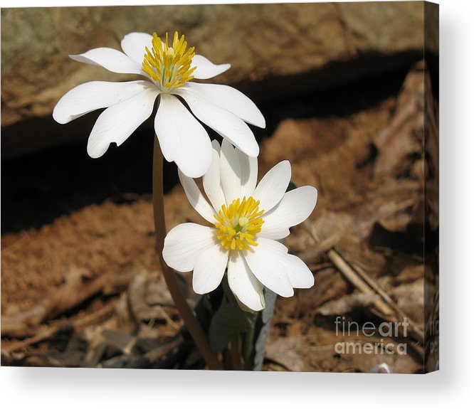 Bloodroot Acrylic Print featuring the photograph Bloodroot by Steve Gass