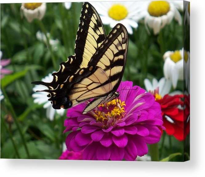 Butterfly Photos Acrylic Print featuring the photograph Butterfly on Zennia by Ellen B Pate