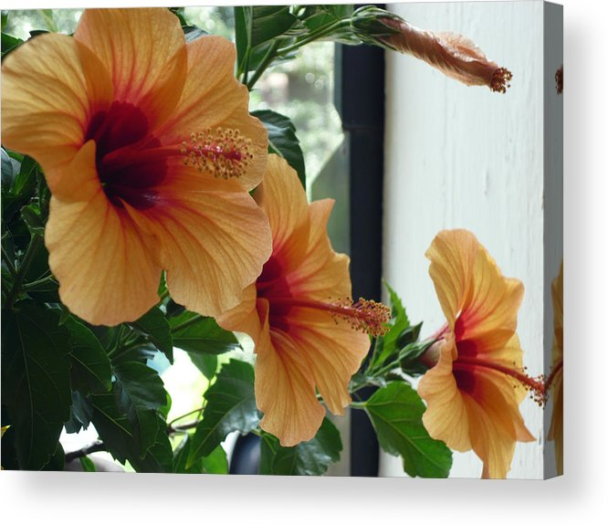 Photography Flower Floral Bloom Hibiscus Peach Acrylic Print featuring the photograph Friends for a day by Karin Dawn Kelshall- Best
