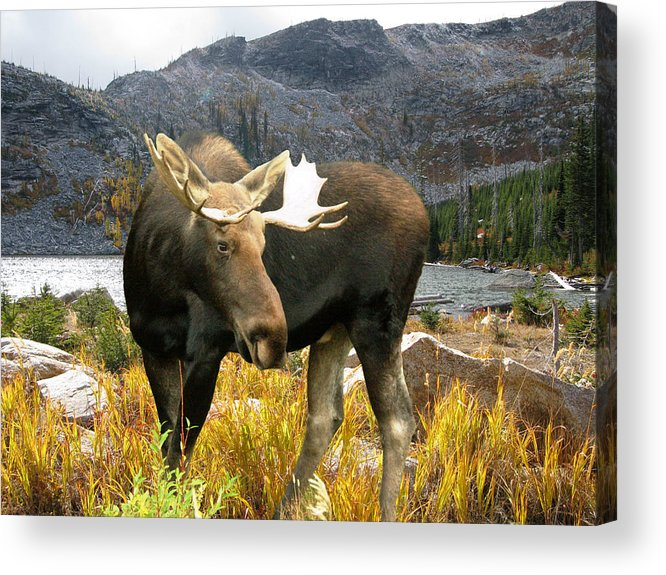 Moose Acrylic Print featuring the photograph High Country Moose by Robert Bissett