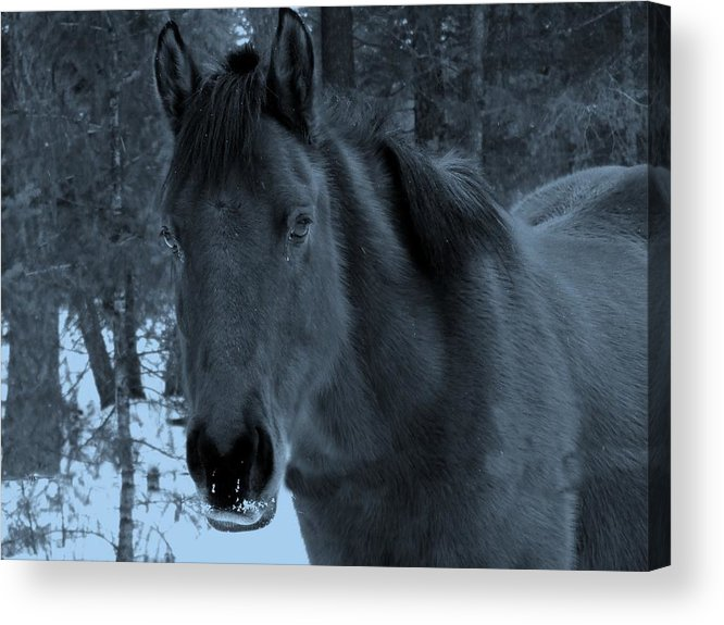 Horse Acrylic Print featuring the photograph Moonlit Stallion by Tiffany Vest