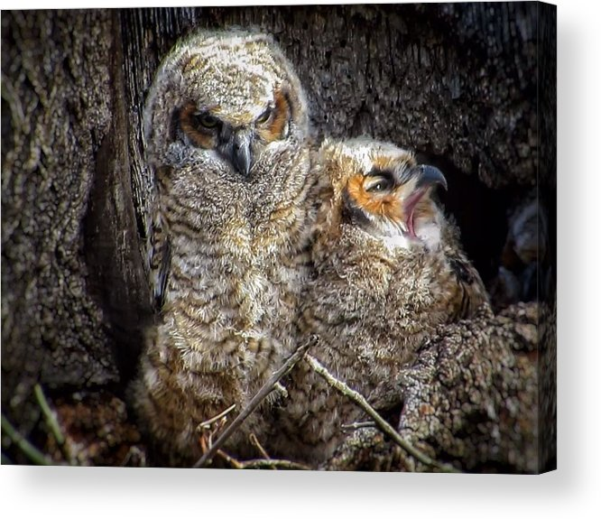 Great Horned Owl Acrylic Print featuring the photograph Nap time by Rrrose Pix