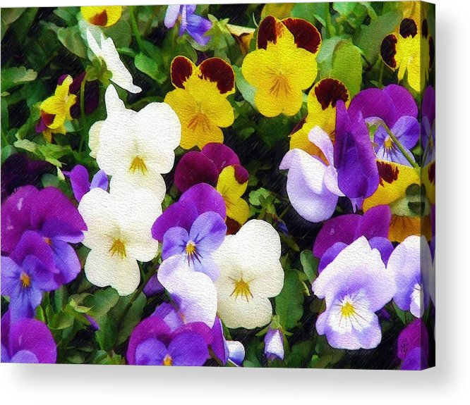 Pansies Acrylic Print featuring the photograph Pansies by Sandy MacGowan