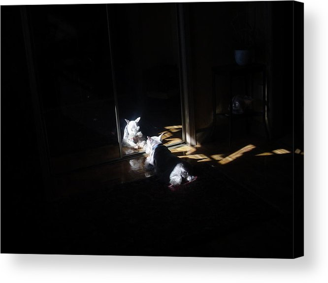 Dog (schnauzer) Acrylic Print featuring the photograph Solitude by Dale Augustson