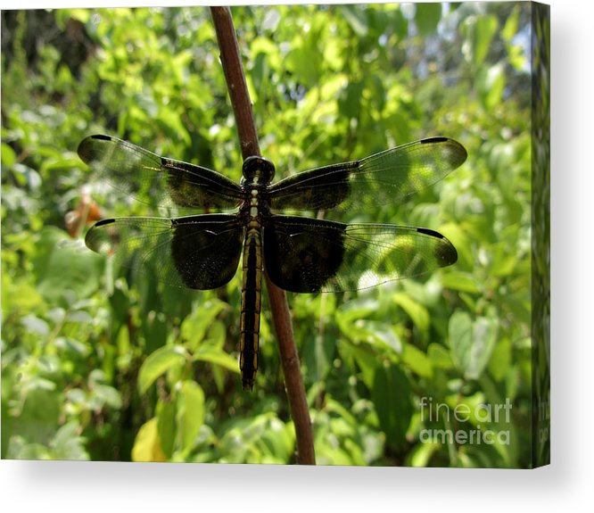 Insect Acrylic Print featuring the photograph Widow Skimmer Dragonfly Female by Donna Brown
