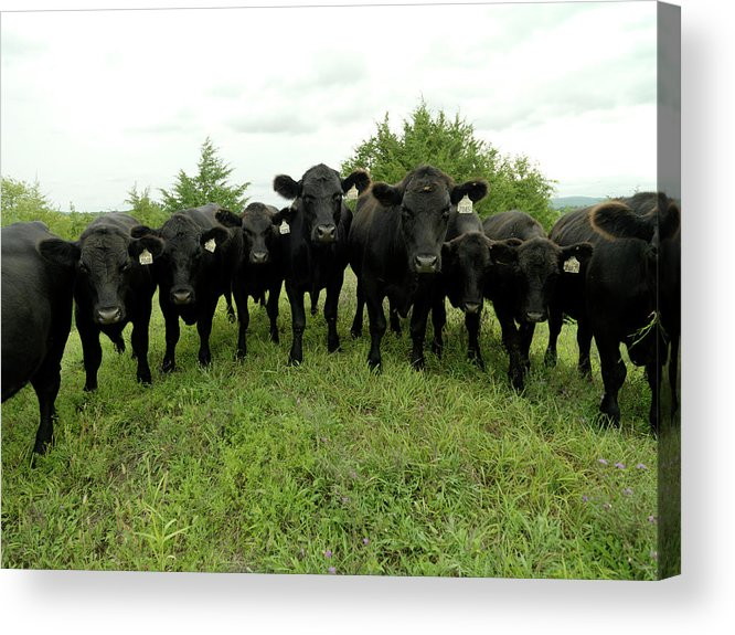 Grass Acrylic Print featuring the photograph Black Angus Cows by Xpacifica