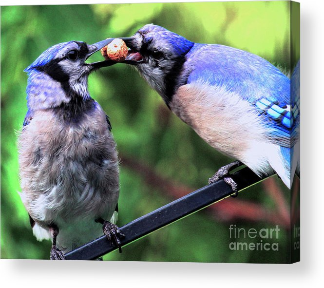 Wildlife Acrylic Print featuring the photograph Blue Jays Wooing 2 by Patricia Youngquist