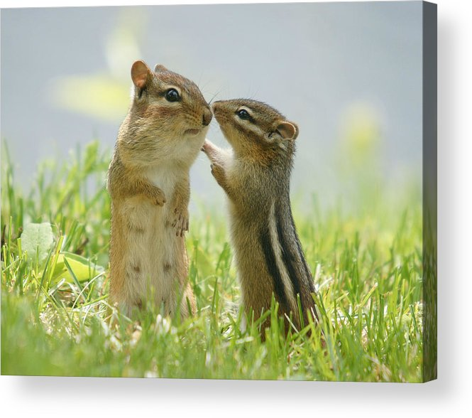 Grass Acrylic Print featuring the photograph Chipmunks In Grasses by Corinne Lamontagne