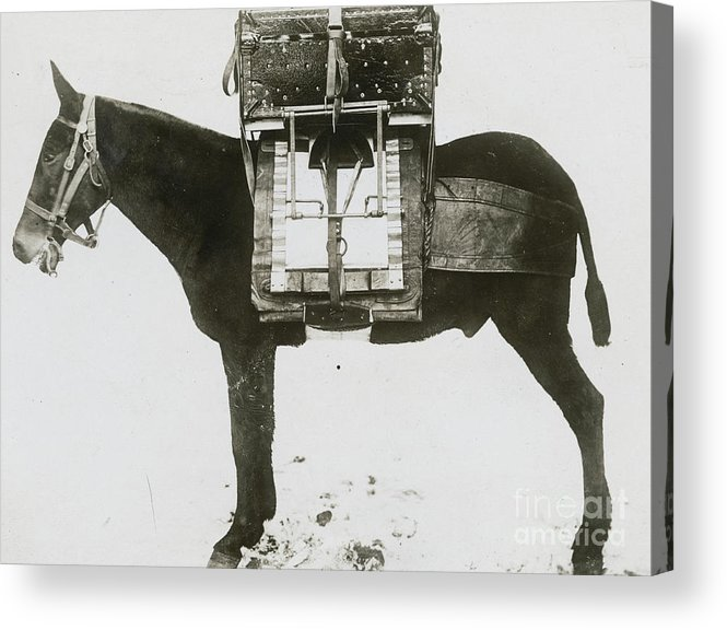 Technology Acrylic Print featuring the photograph Donkey Carrying Portable Telegraph by Bettmann