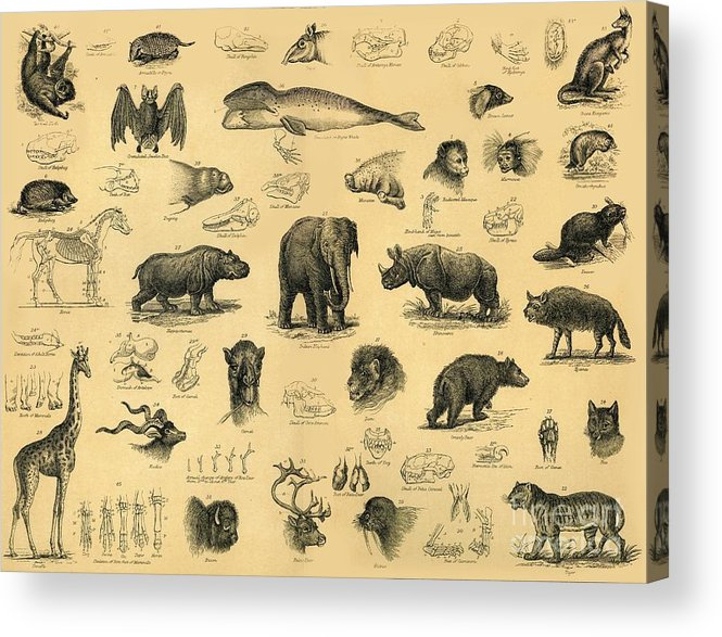 Engraving Acrylic Print featuring the drawing Mammals by Print Collector