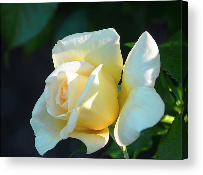 Aesthetic Acrylic Print featuring the photograph Nature - Creamy Rose Petals by Arthur Babiarz