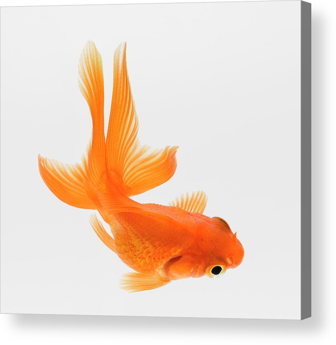 Pets Acrylic Print featuring the photograph Fantail Goldfish Carassius Auratus by Don Farrall