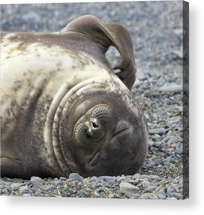 South Georgia Island Acrylic Print featuring the photograph Southern Elephant Seal Weaner Pup by Eastcott Momatiuk