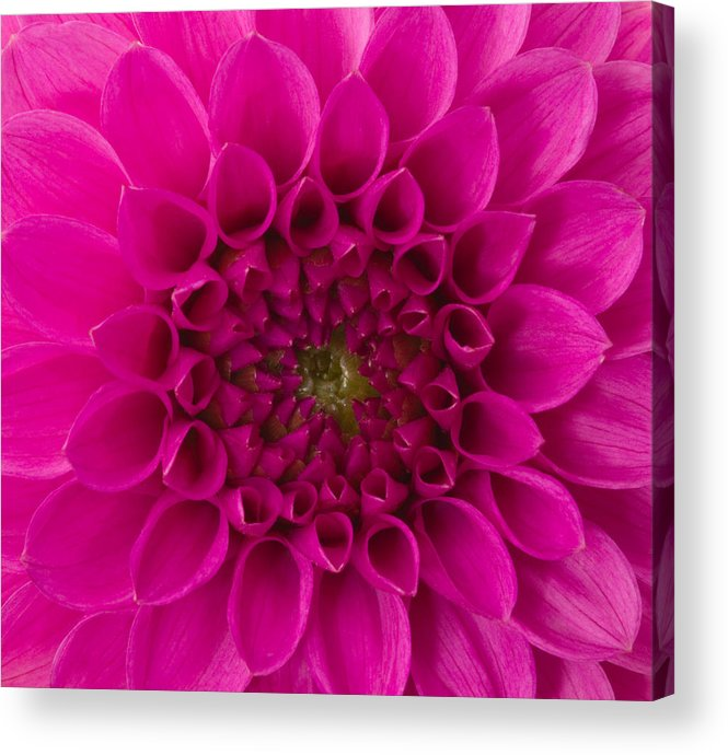 Saturated Color Acrylic Print featuring the photograph Dahlia by Vidok