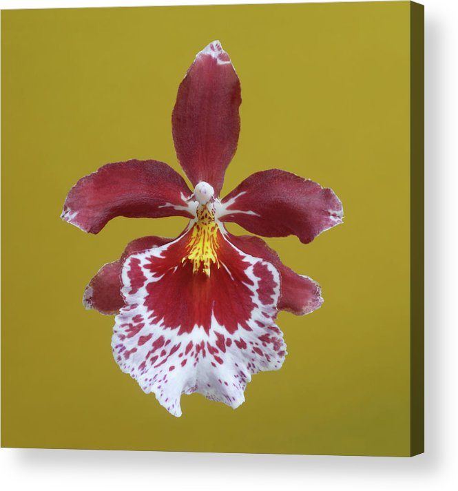 Petal Acrylic Print featuring the photograph Cambria Plush Orchid Flower by Rosemary Calvert