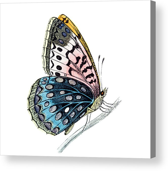 Engraving Acrylic Print featuring the digital art Venus Fritillary Butterfly by Andrew howe