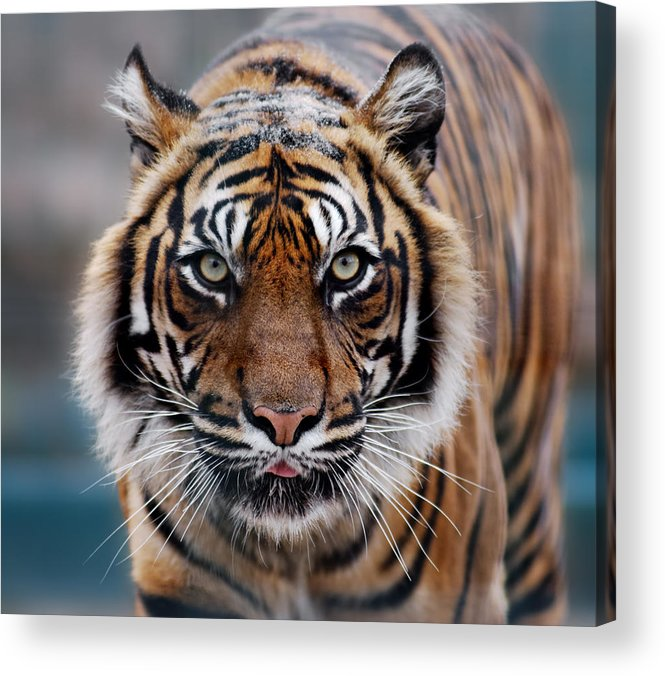 Snow Acrylic Print featuring the photograph Tiger by Freder