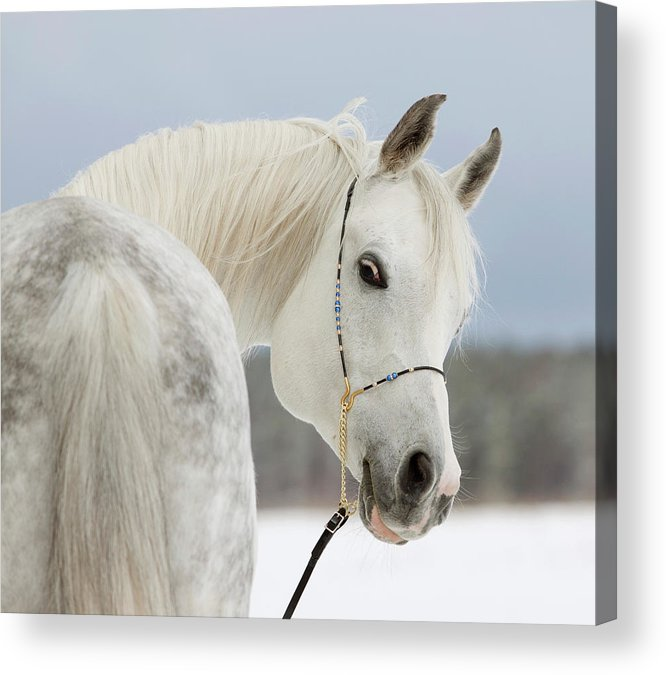 Horse Acrylic Print featuring the photograph Arabian Stallion by Photographs By Maria Itina