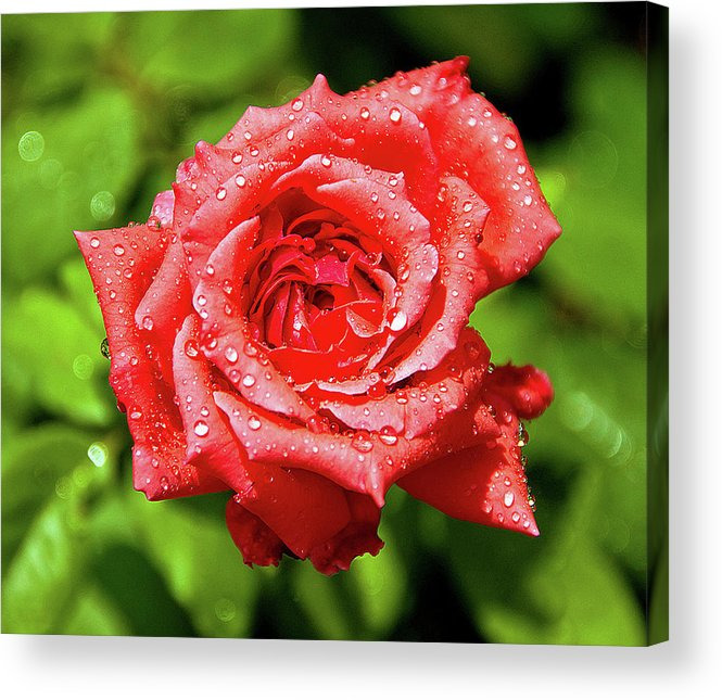 New Delhi Acrylic Print featuring the photograph Rose With Raindrops by Charlie Joe