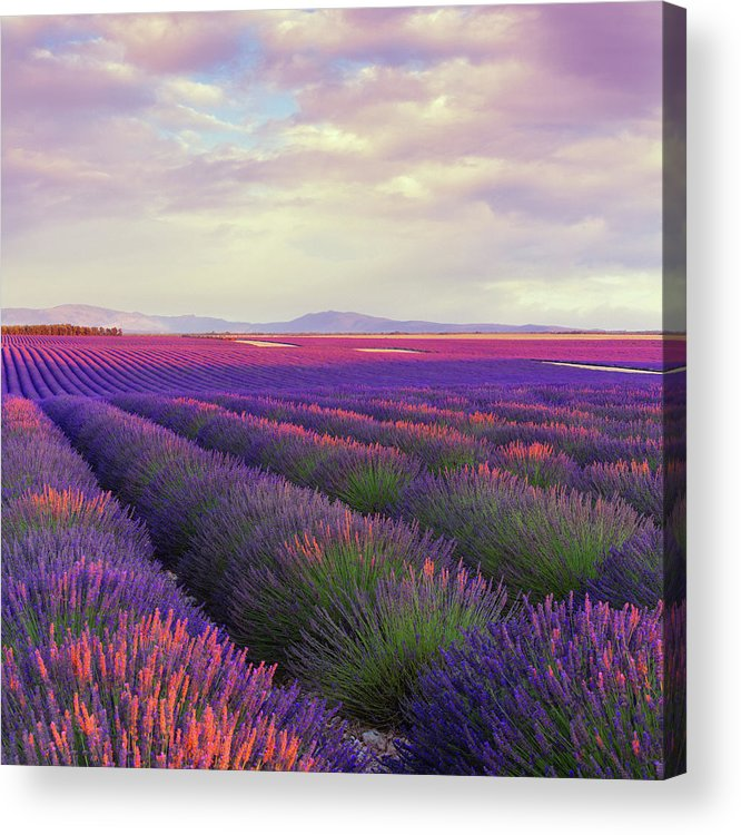 Dawn Acrylic Print featuring the photograph Lavender Field At Dusk by Mammuth