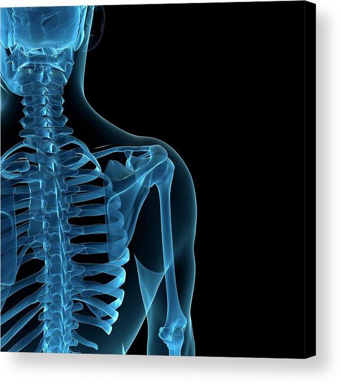 Anatomy Acrylic Print featuring the digital art Upper Body Bones, Artwork by Sciepro