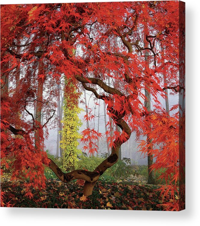 Landscape Acrylic Print featuring the photograph A Japanese Maple Tree by Richard Felber