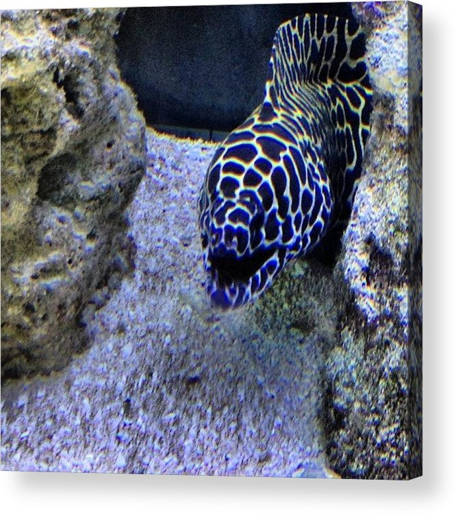 Underwater Acrylic Print featuring the photograph #eel #saltwater #underwater #water by Amber Campanaro