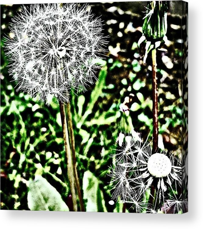Beautiful Acrylic Print featuring the photograph Dandelions by J Roustie