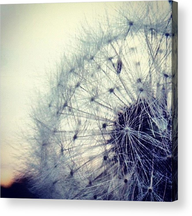 Life Acrylic Print featuring the photograph #mgmarts #dandelion #love #micro by Marianna Mills