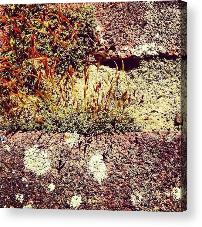Moss Acrylic Print featuring the photograph Moss Wall Abstract by Nic Squirrell