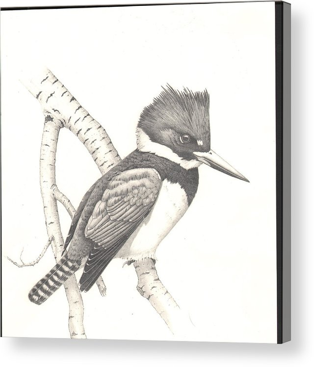 Kingfisher Acrylic Print featuring the drawing study for Belted Kingfisher painting by Bill Gehring