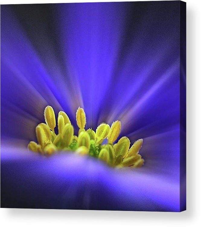 Beautiful Acrylic Print featuring the photograph blue Shades - An Anemone Blanda by John Edwards