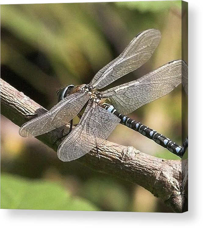 Dragonfly Acrylic Print featuring the photograph Aeshna Juncea - Common Hawker taken At by John Edwards