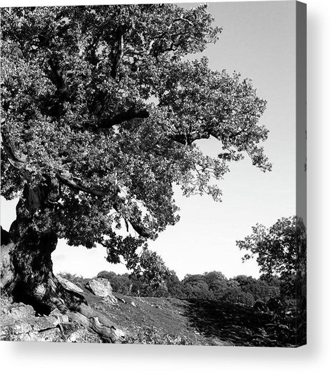 Woodland Acrylic Print featuring the photograph Ancient Oak, Bradgate Park by John Edwards