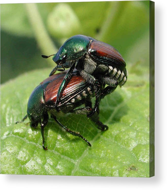 Nature Acrylic Print featuring the photograph Japanese Beetles Mating by Matt Cormons