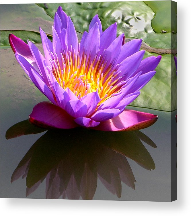 Water Lily Acrylic Print featuring the photograph Sunburst Lily by John Lautermilch