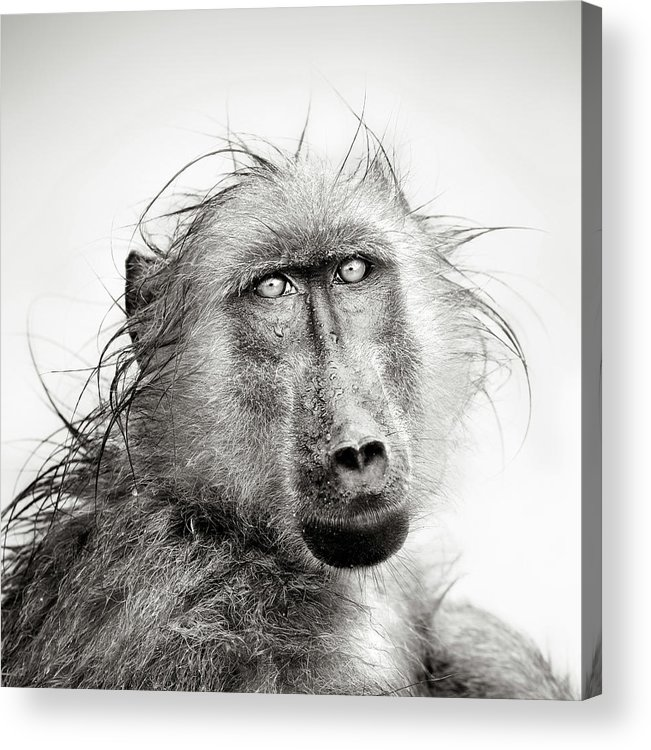 Baboon Acrylic Print featuring the photograph Wet Baboon portrait by Johan Swanepoel