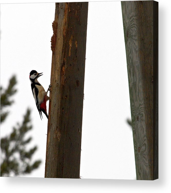 Lehtokukka Acrylic Print featuring the photograph Woodpecker Workshop by Jouko Lehto