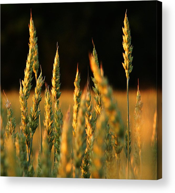 Bakery Acrylic Print featuring the photograph A Wheat Field Towards The End Of The Day by Ssuni